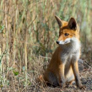 Fox, Lis